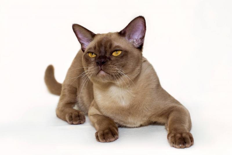 Burmese cat - Burmagesty - Burmagesty Tiger (21728930_1473059822739709_7675866899748374639_o)