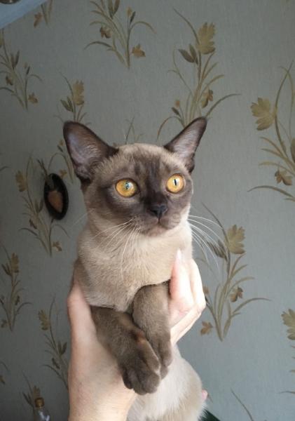 Burmese cat - Burmagesty - Burmaleus Cleopatra (30771581_1590133587721403_476441942_o)