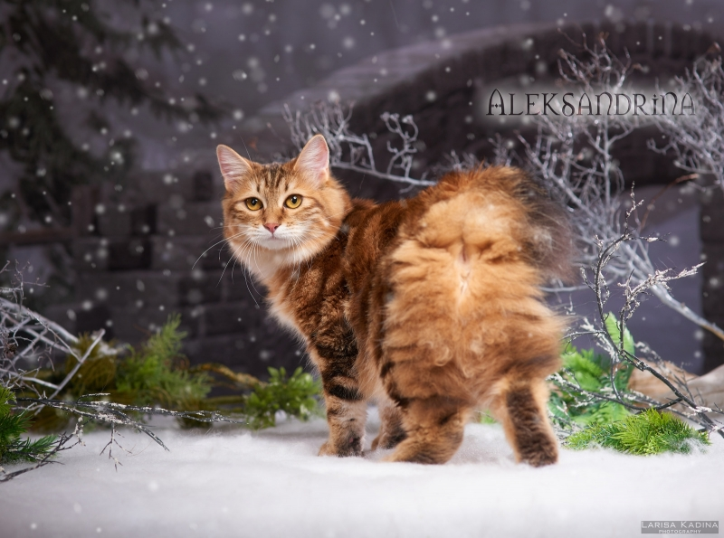 Kurilian Bobtail - GOLDEN TWINKLE - Aleksandrina (Aleksandrina)