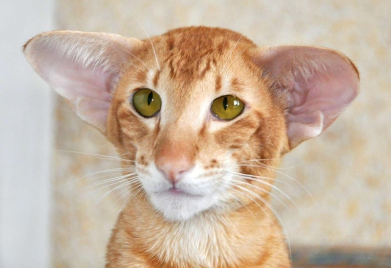 Oriental Shorthair - Chrysolie - ChatNoir Marshmellow (30710179_742935705914464_2782110863220277248_n)