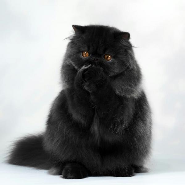 Persian cat - SiberiaCzar - SiberiaCzar Balamut (IMG_20180325_113507_321)