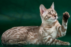 Bengal cat - RossChant - Sol Royals Sakura from Chocolate (1_ibe_499x500_1x)