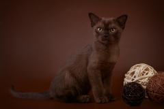 Burmese cat - Burmagesty - Burmagesty Baks (30771752_1590138237720938_1140216564_o)