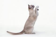 Burmese cat - Burmagesty - Burmagesty Sandra (IMG_0377web)