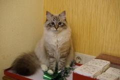 Siberian cat - Biryuza - Snezhka Biryuza - DSC03986