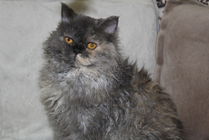 Selkirk Rex - Pride Fansimo - Feya Pride Fansimo - unnamed-file