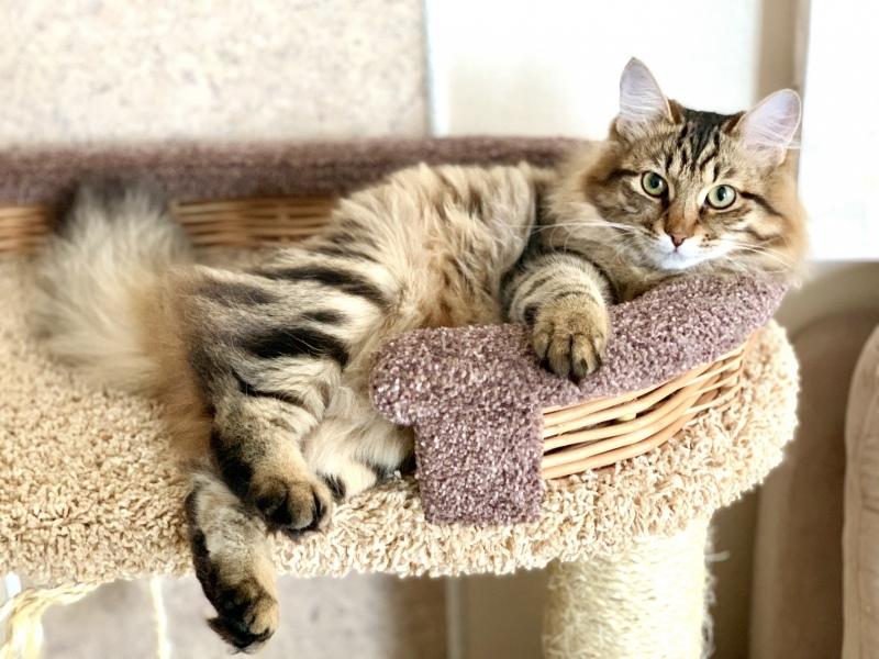 Siberian cat - Котомир - BRUNYA YANTAR SIBIRI - FullSizeRender-09-03-20-03-14