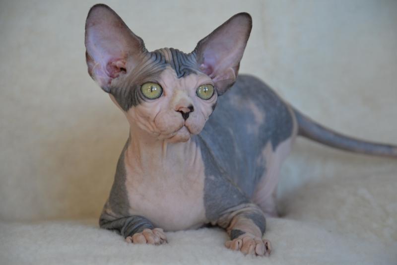 Sphynx cat - Persona Grata - Ellegiya de Liz Elizabeth Queen - DSC_3338