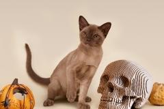 Burmese cat - Burmagesty - Burmagesty Djesica - B5E29E63-86B7-4AA0-80B1-FEB317C5FBA5