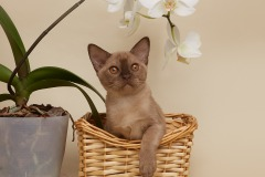 Burmese cat - Burmagesty - Burmagesty Melody - 8F2040F5-C79D-4BCA-8B93-16A5939AB59C