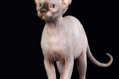 Sphynx cat - Perfect Line - IRIS VICTORY STAR - unnamed-file