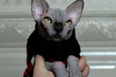 Sphynx cat - Perfect Line - JOSER DIAMOND - unnamed-file