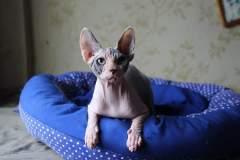 Sphynx cat - Tomanikas - Fata Morgana RU Jessica Lee Moore - IMG-20191222-WA0019