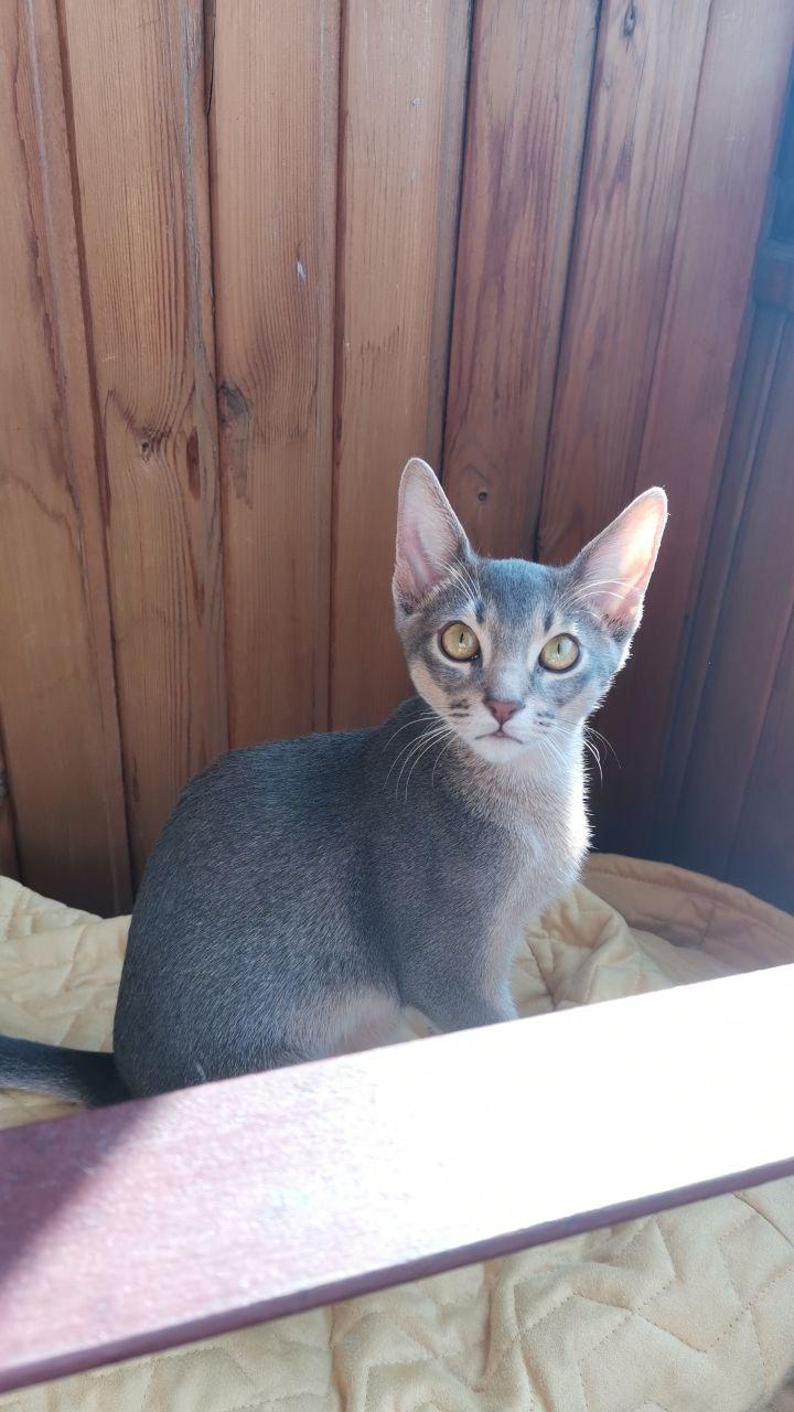 Abyssinian cat - - Соник - IMG_20200928_165554_245
