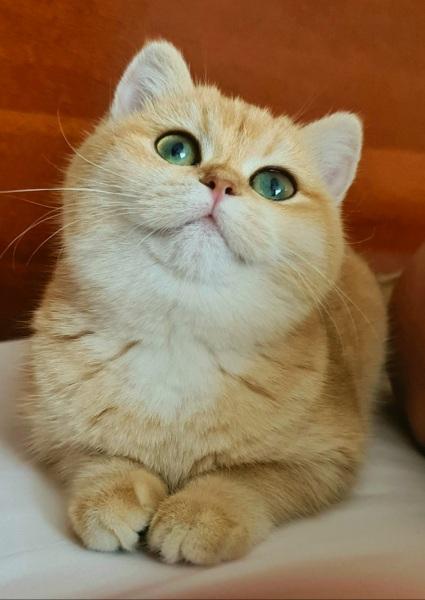 British Shorthair - GOLDEN ORANGE - Selena - 20201113_145146