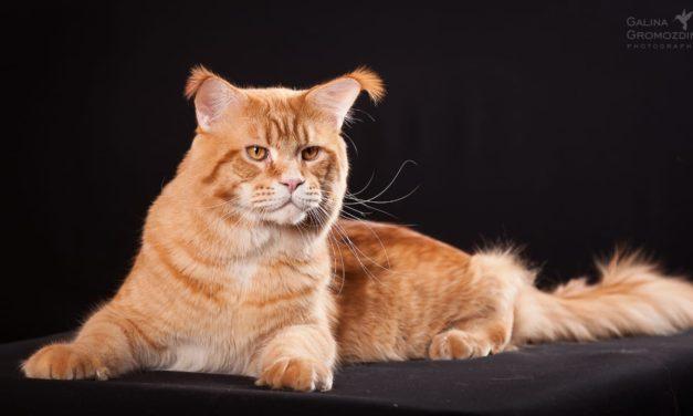 Кот на вязку — I. Ch. Champion Gordost Raisi (MCO d 24 09)