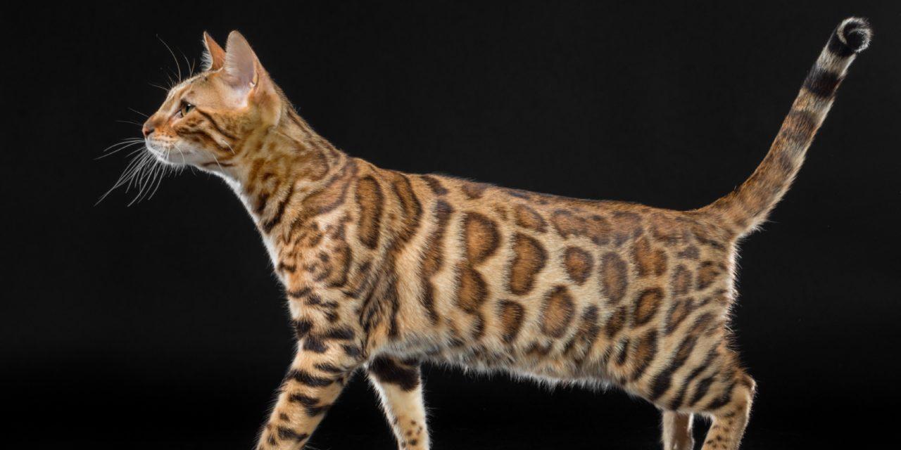 Питомник бенгальских кошек «Iridescent»