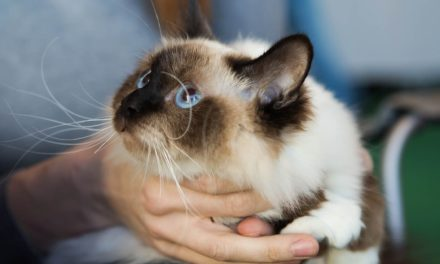 Питомник кошек породы Священная бирма — «Charming Point»