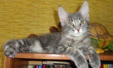 Котята породы мейн-кун из питомника Obitel Freyi