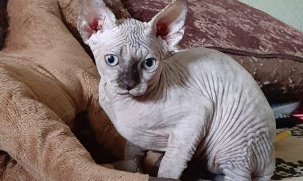 Котята канадских сфинксов из питомника «KanBenOri»