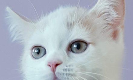 Котенок Скоттиш-страйт из питомника Milagro de Siberia