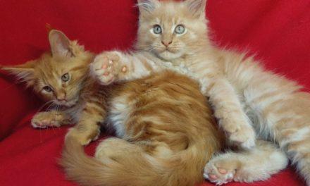 Котята Мейн кун из питомника Gordost Raisi