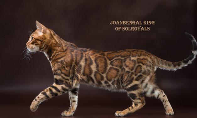 Кот на вязку — СH WCF JOANBENGAL KING (Бенгальская, BEN n 24)
