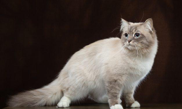 Кот на вязку — Siber-Favorite Zephir (Blue Lynx Point/white)