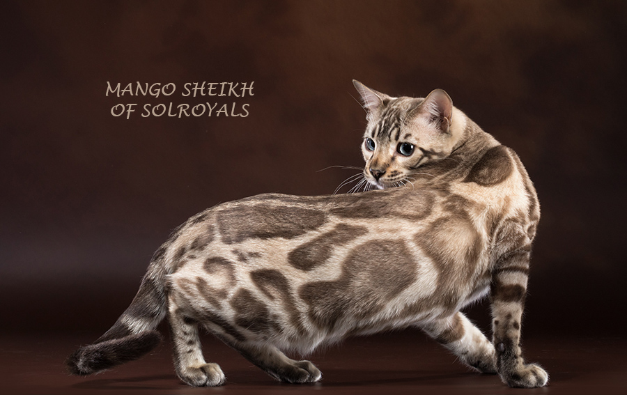 Кот на вязку — СH WCF MANGO SHEIKH (Бенгальская, BEN n 24)
