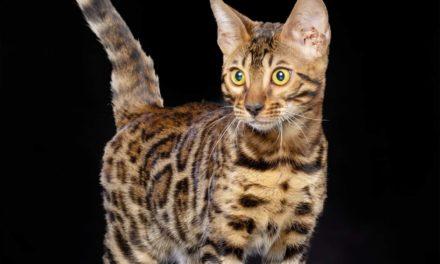 Питомник бенгальских кошек RossChant