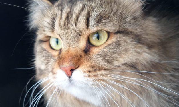 Кот на вязку — Artemij Origrace