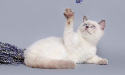 Британские котята. Питомник Wertvoll Snow
