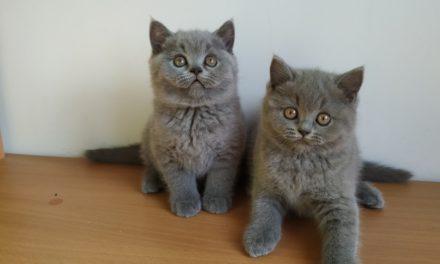 Британские котята из питомника «Kotomirus»