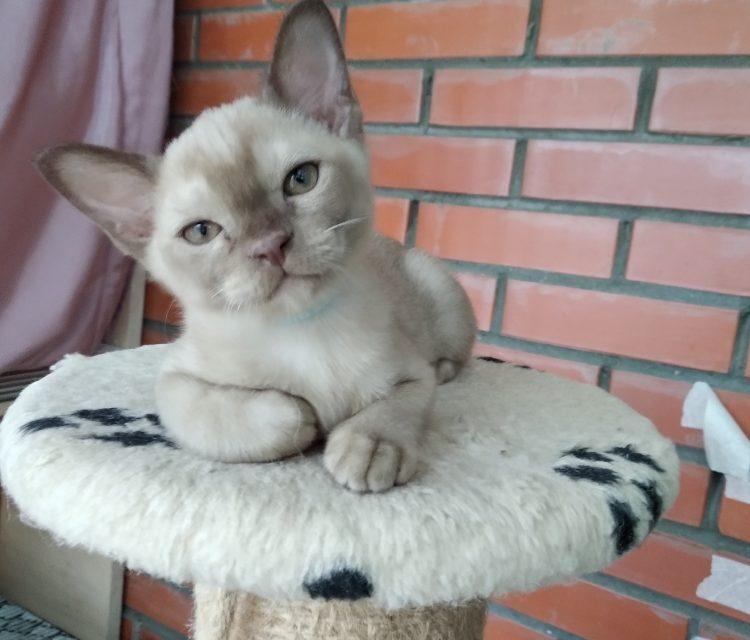 Питомник Burmiausik предлагает к продаже котят Европейской Бурмы