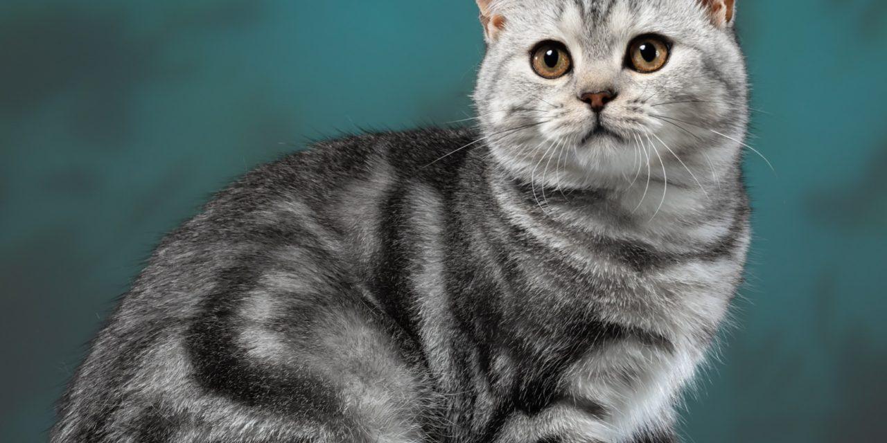 Британские котята из питомника «Silver smoke»