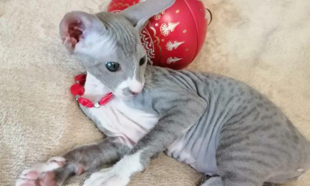 Котята породы Петерболд