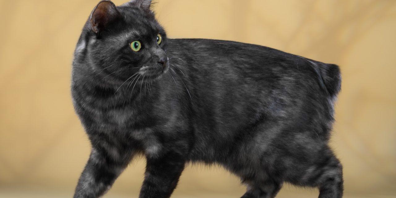Кот на вязку — Cr.I.Ch ATTILA TAEZHNYI ROMAN (курильский бобтейл)