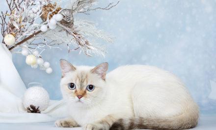 Британская нарядная девочка. Питомник Wertoll Snow.