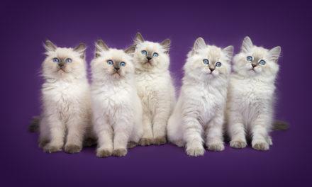 Невские маскарадные котята из питомника KissLand