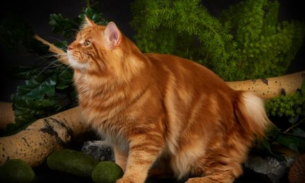 Кот на вязку — WCh, Injir BobStyle (Курильский бобтейл)