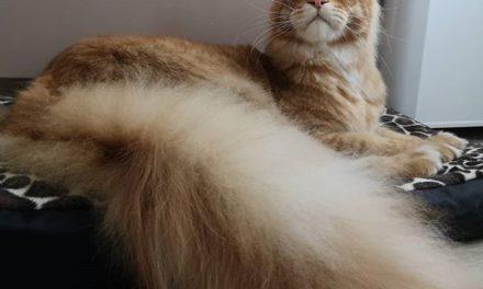 Питомник кошек породы Мейн-Кун «BWild»