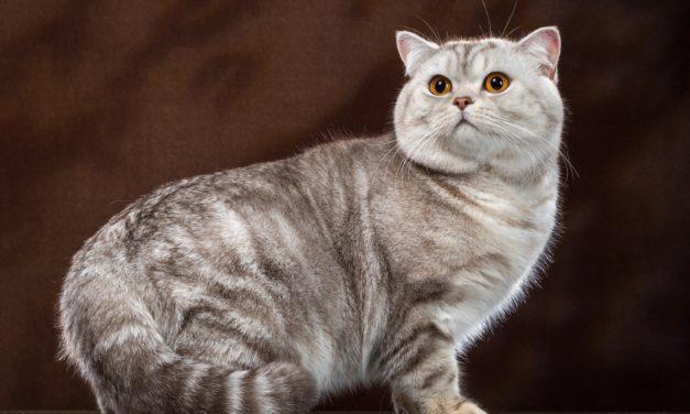 Кот на вязку — lnt. Ch. Timoti Estate Melli (британская к/ш, BRI bs 22)