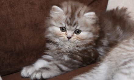 Британские котята из питомника Estate Melli