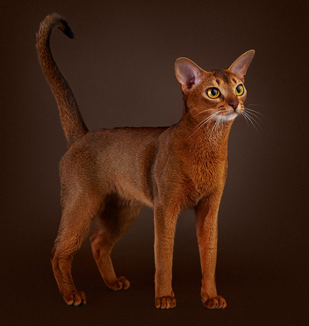Абиссинская кошка — Abyssinian cat, ABY, Shorthair