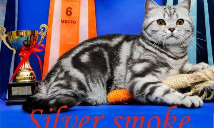 Питомник британских кошек «Silver smoke»