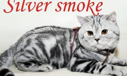 Кот на вязку — Ofelia Hummer, питомник Silver smoke (Британская, BRI ns 22)