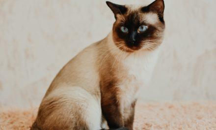 Кот на вязку — Ch. Elias Thai Shining (n)