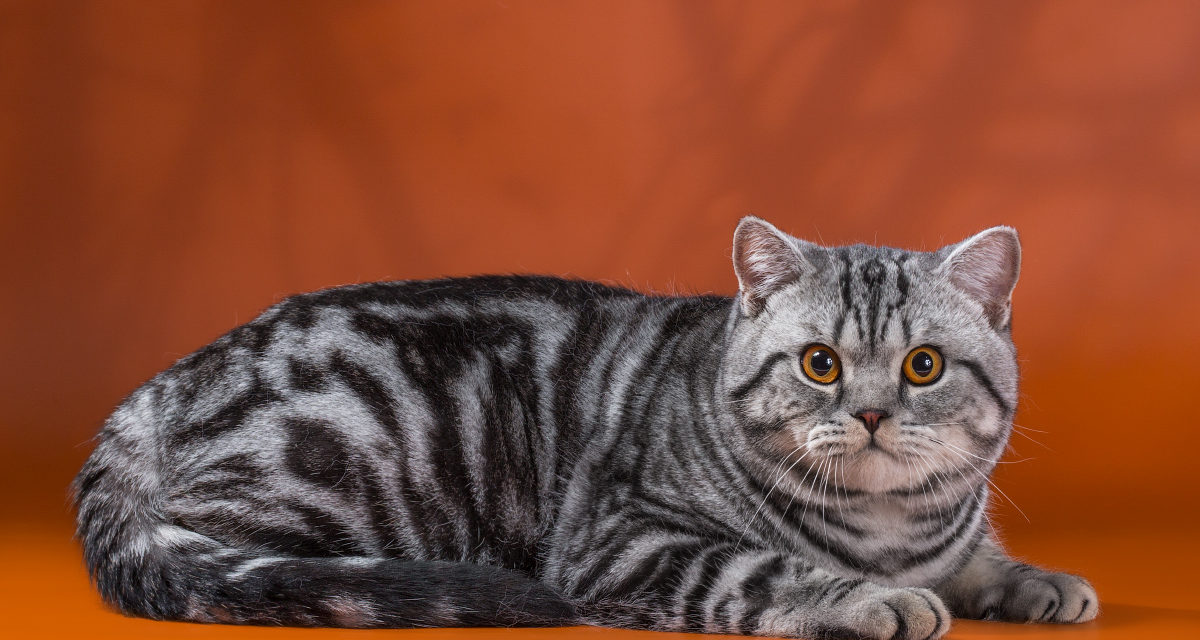 Кот на вязку — W.CH. Ofelia Giorgio Armani Lansherys (British Shorthair)