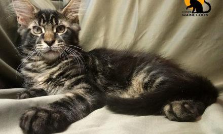 Котята породы мейн-кун из питомника Kotomirus