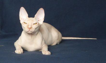 Кошка на вязку — Tasha Fortune Nibori (DSX)